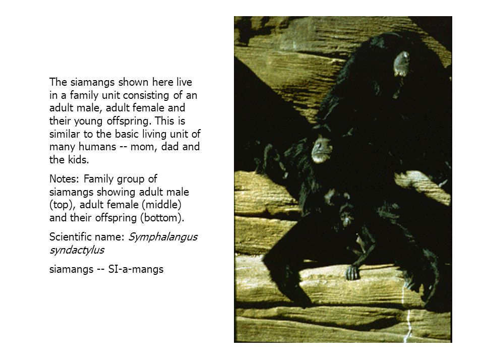 The siamangs shown here live in a family unit consisting of an adult male, adult female and their young offspring.