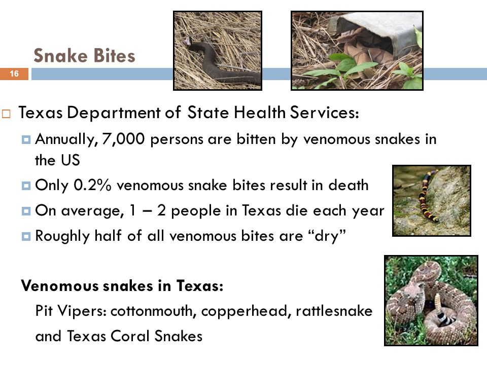  Texas Department of State Health Services:  Annually, 7,000 persons are bitten by venomous snakes in the US  Only 0.2% venomous snake bites result in death  On average, 1 – 2 people in Texas die each year  Roughly half of all venomous bites are dry Venomous snakes in Texas: Pit Vipers: cottonmouth, copperhead, rattlesnake and Texas Coral Snakes 16 Snake Bites