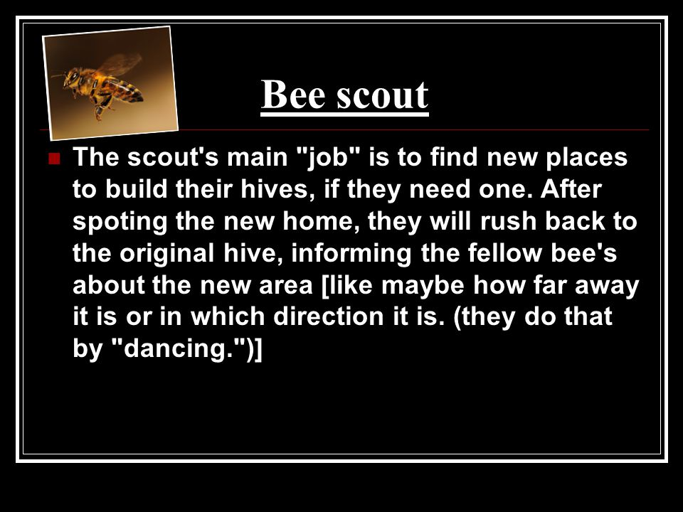 Bee scout The scout s main job is to find new places to build their hives, if they need one.
