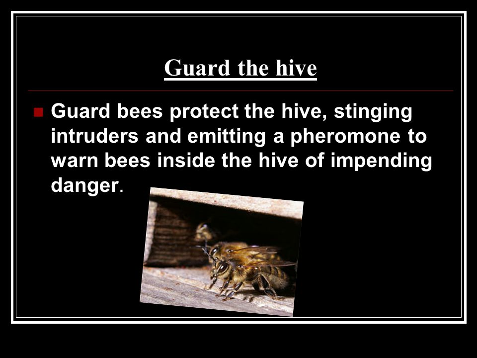 Guard the hive Guard bees protect the hive, stinging intruders and emitting a pheromone to warn bees inside the hive of impending danger.