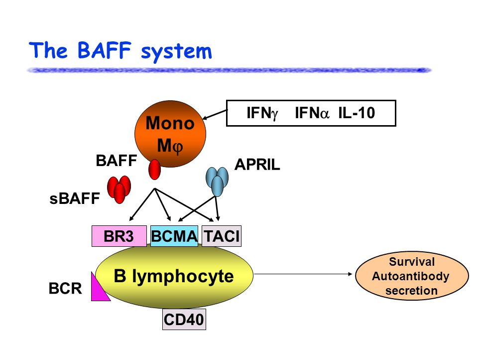 The BAFF system IFN  IFN  IL-10 Mono M  B lymphocyte BR3BCMATACI CD40 APRIL BAFF BCR sBAFF Survival Autoantibody secretion