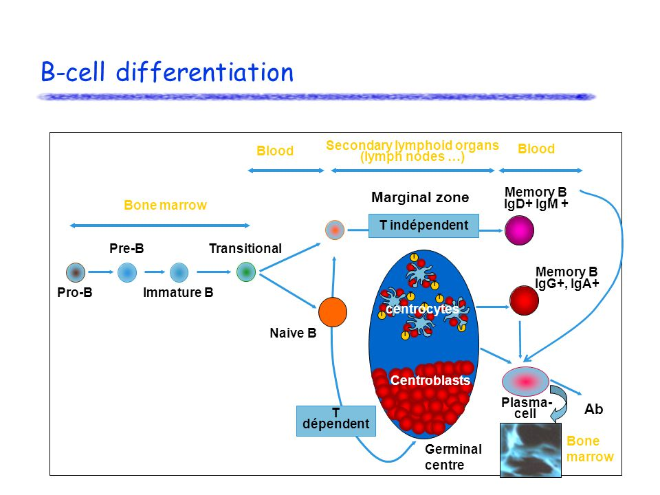 B-cell differentiation Memory B IgD+ IgM + Pro-B T T T T T T T T Centroblasts Memory B IgG+, IgA+ Plasma- cell Naive B T indépendent Marginal zone Transitional Immature B Pre-B T dépendent Bone marrow Secondary lymphoid organs (lymph nodes …) Germinal centre centrocytes Ab Blood Bone marrow Blood