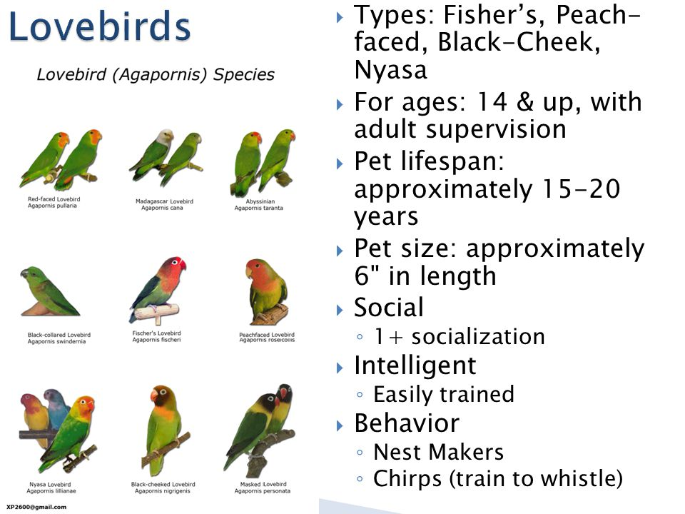  Types: Fisher's, Peach- faced, Black-Cheek, Nyasa  For ages: 14 & up, with adult supervision  Pet lifespan: approximately 15-20 years  Pet size: approximately 6 in length  Social ◦ 1+ socialization  Intelligent ◦ Easily trained  Behavior ◦ Nest Makers ◦ Chirps (train to whistle)