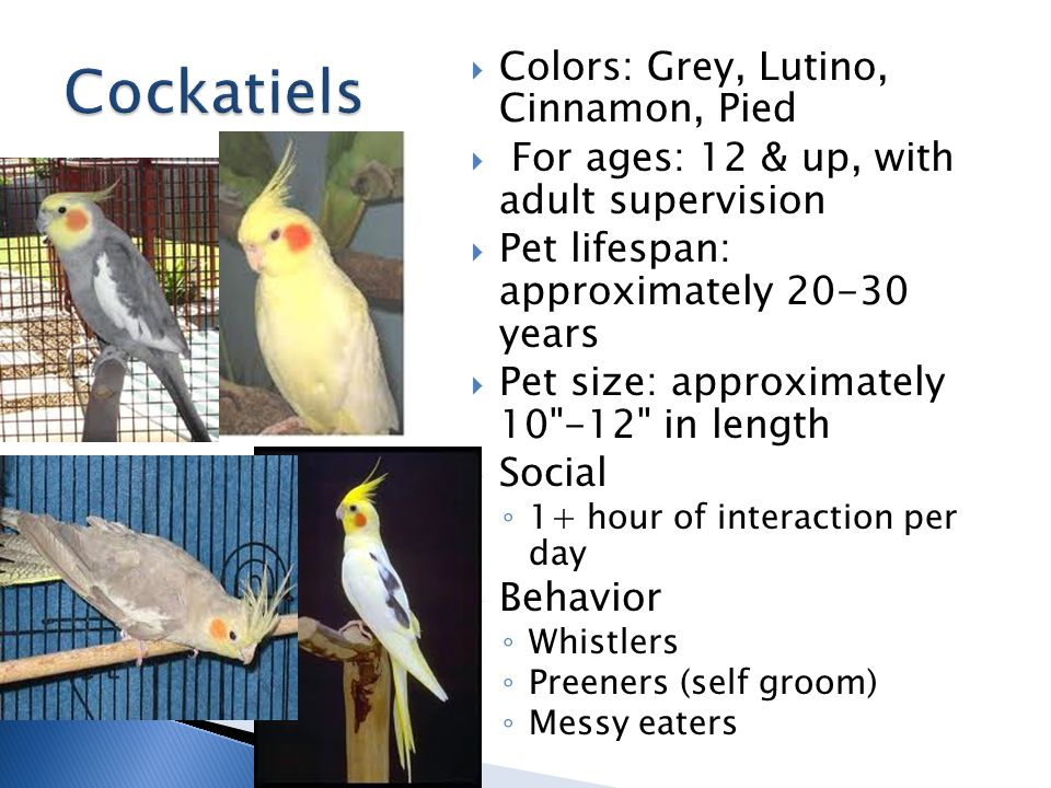  Colors: Grey, Lutino, Cinnamon, Pied  For ages: 12 & up, with adult supervision  Pet lifespan: approximately 20-30 years  Pet size: approximately 10 -12 in length  Social ◦ 1+ hour of interaction per day  Behavior ◦ Whistlers ◦ Preeners (self groom) ◦ Messy eaters