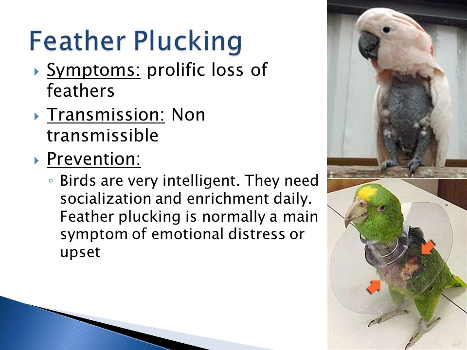  Symptoms: prolific loss of feathers  Transmission: Non transmissible  Prevention: ◦ Birds are very intelligent.