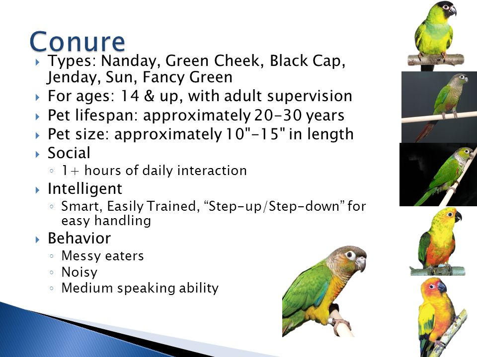  Types: Nanday, Green Cheek, Black Cap, Jenday, Sun, Fancy Green  For ages: 14 & up, with adult supervision  Pet lifespan: approximately 20-30 years  Pet size: approximately 10 -15 in length  Social ◦ 1+ hours of daily interaction  Intelligent ◦ Smart, Easily Trained, Step-up/Step-down for easy handling  Behavior ◦ Messy eaters ◦ Noisy ◦ Medium speaking ability