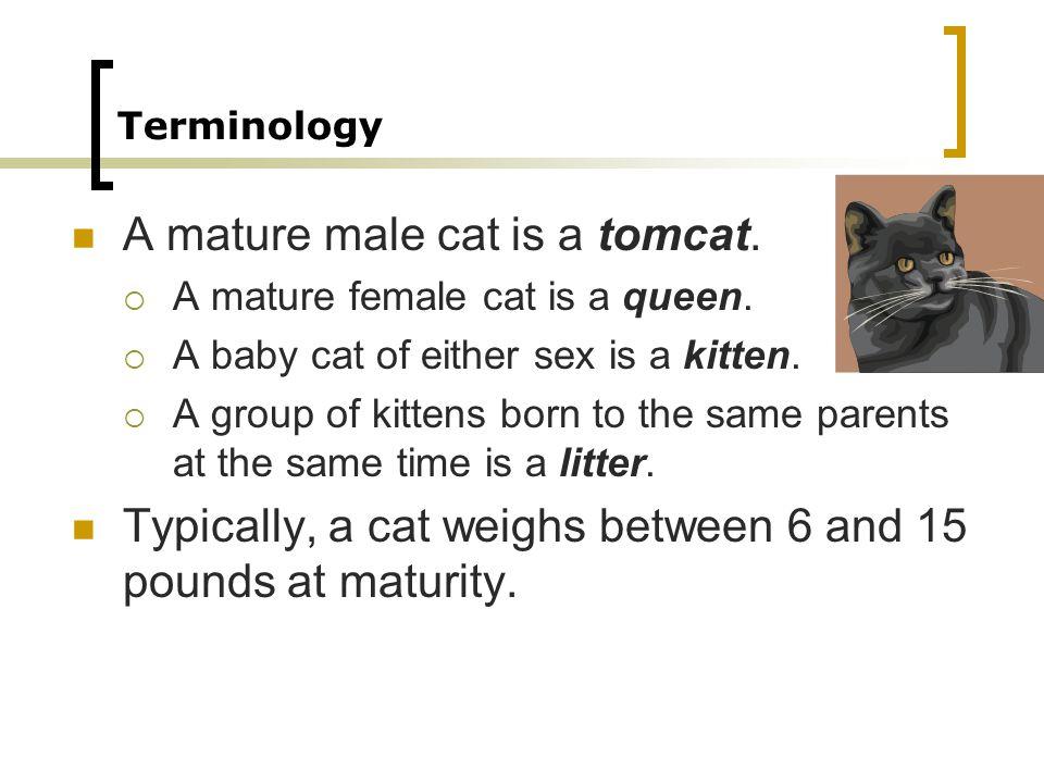 Terminology A mature male cat is a tomcat. A mature female cat is a queen.