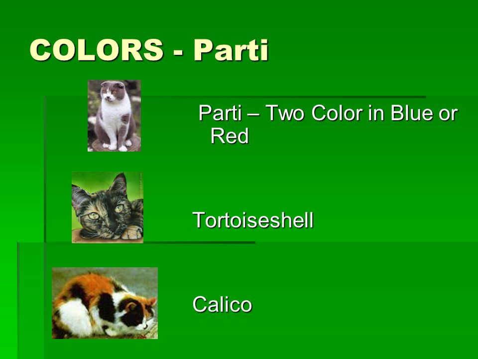 COLORS - Parti Parti – Two Color in Blue or Red Parti – Two Color in Blue or RedTortoiseshellCalico