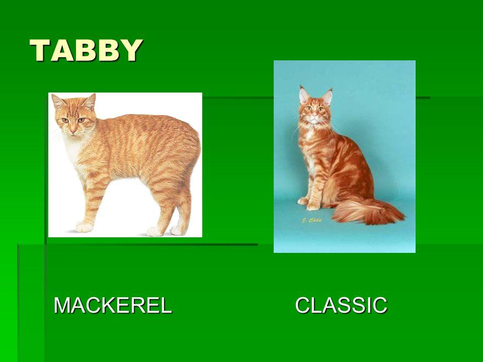 TABBY MACKERELCLASSIC