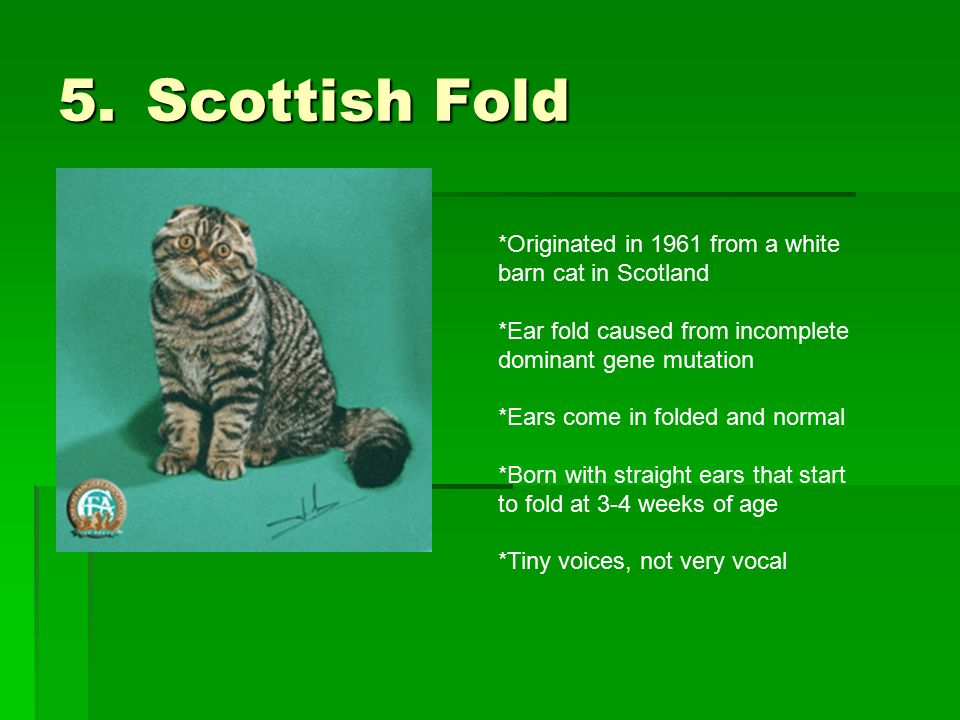 5.Scottish Fold *Originated in 1961 from a white barn cat in Scotland *Ear fold caused from incomplete dominant gene mutation *Ears come in folded and