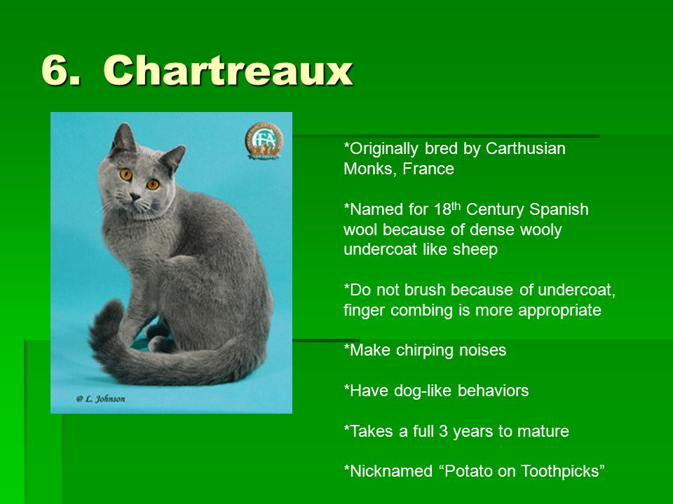 6.Chartreaux *Originally bred by Carthusian Monks, France *Named for 18 th Century Spanish wool because of dense wooly undercoat like sheep *Do not br