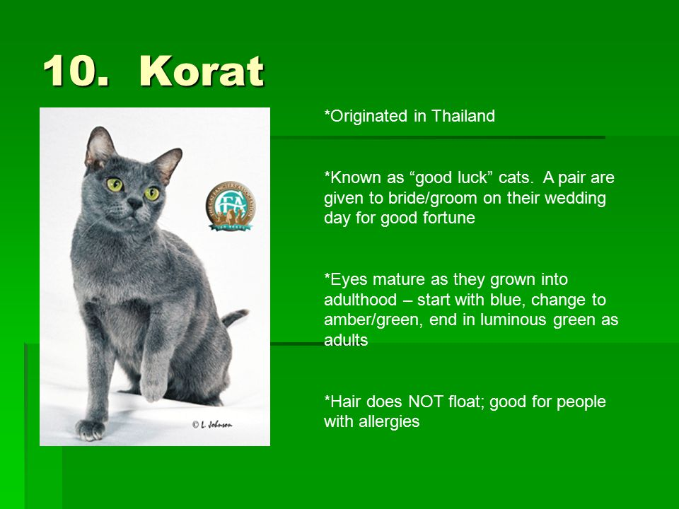 "10. Korat *Originated in Thailand *Known as ""good luck"" cats. A pair are given to bride/groom on their wedding day for good fortune *Eyes mature as th"