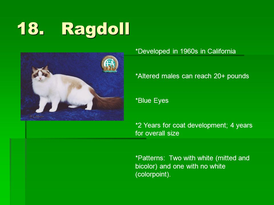 18. Ragdoll *Developed in 1960s in California *Altered males can reach 20+ pounds *Blue Eyes *2 Years for coat development; 4 years for overall size *