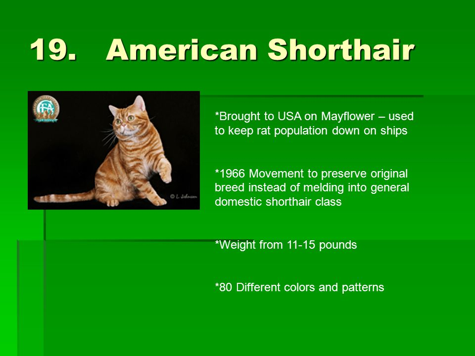 19. American Shorthair *Brought to USA on Mayflower – used to keep rat population down on ships *1966 Movement to preserve original breed instead of m