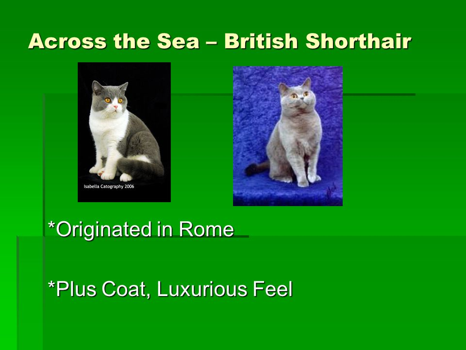 Across the Sea – British Shorthair *Originated in Rome *Plus Coat, Luxurious Feel