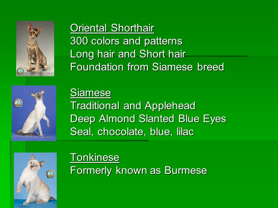 Oriental Shorthair 300 colors and patterns Long hair and Short hair Foundation from Siamese breed Siamese Traditional and Applehead Deep Almond Slante
