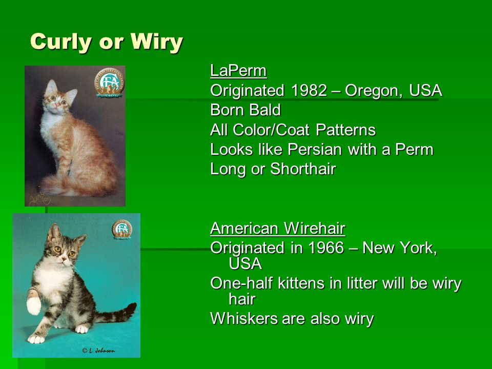 Curly or Wiry LaPerm Originated 1982 – Oregon, USA Born Bald All Color/Coat Patterns Looks like Persian with a Perm Long or Shorthair American Wirehai