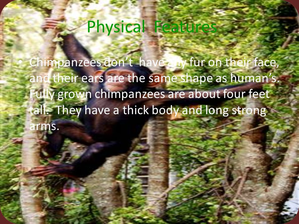 Chimpanzee's species are pan toglytmes. That means all cave dwellers.