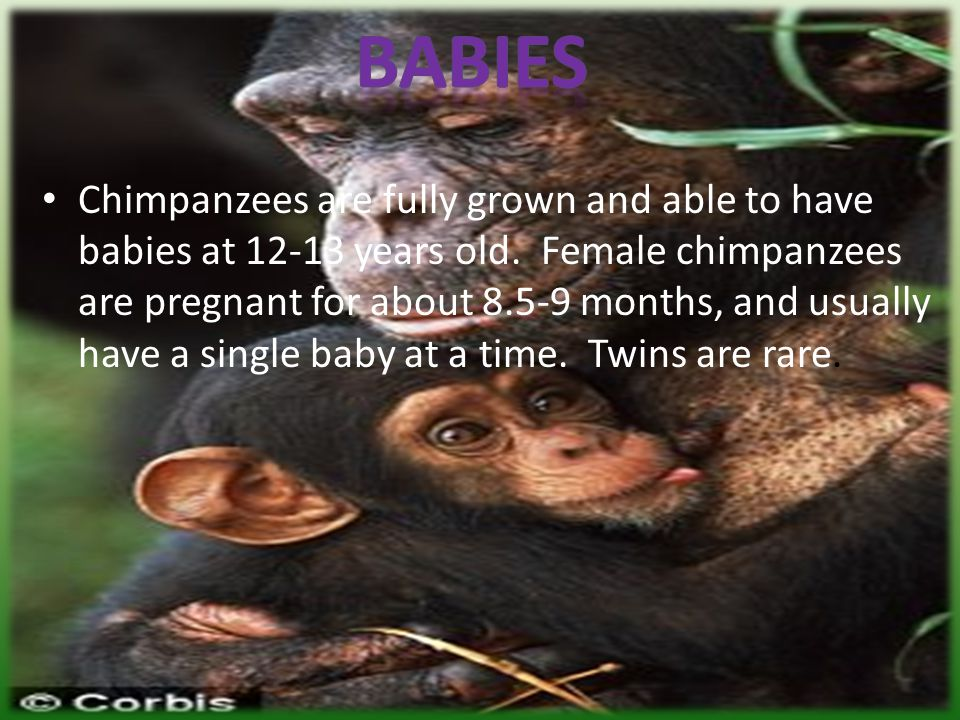 Habitat Most chimpanzees live in tropical rainforests in western Africa.