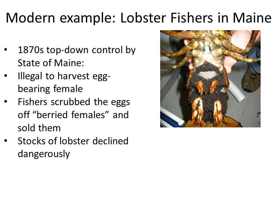 Modern example: Lobster Fishers in Maine 1870s top-down control by State of Maine: Illegal to harvest egg- bearing female Fishers scrubbed the eggs off berried females and sold them Stocks of lobster declined dangerously