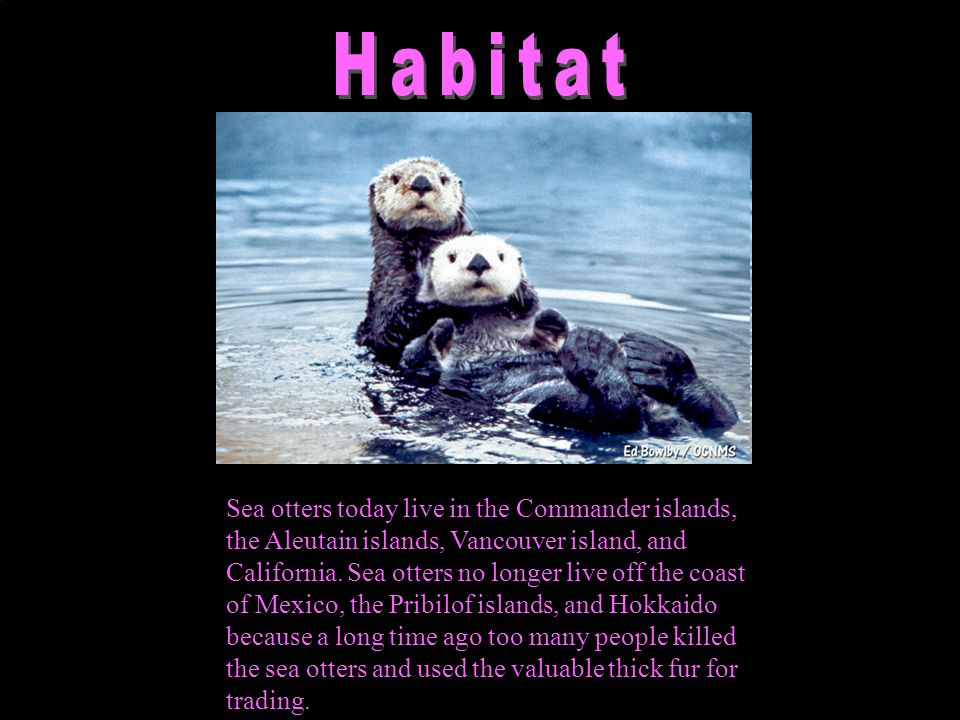 Sea otters mostly eat sea urchins, mussels, abalone, clams, scallops, crabs, sea snails, chitons, octopus and squid.