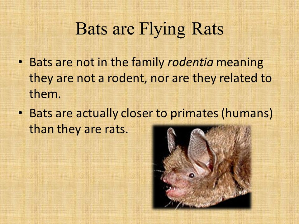 Bats are Flying Rats Bats are not in the family rodentia meaning they are not a rodent, nor are they related to them.