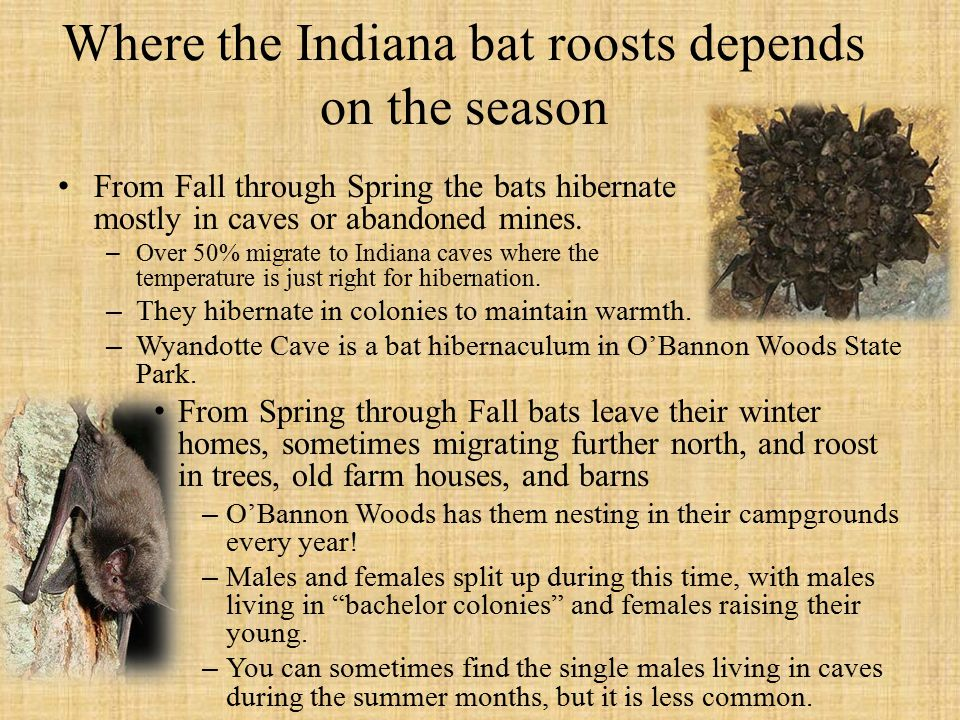 Where the Indiana bat roosts depends on the season From Fall through Spring the bats hibernate mostly in caves or abandoned mines.
