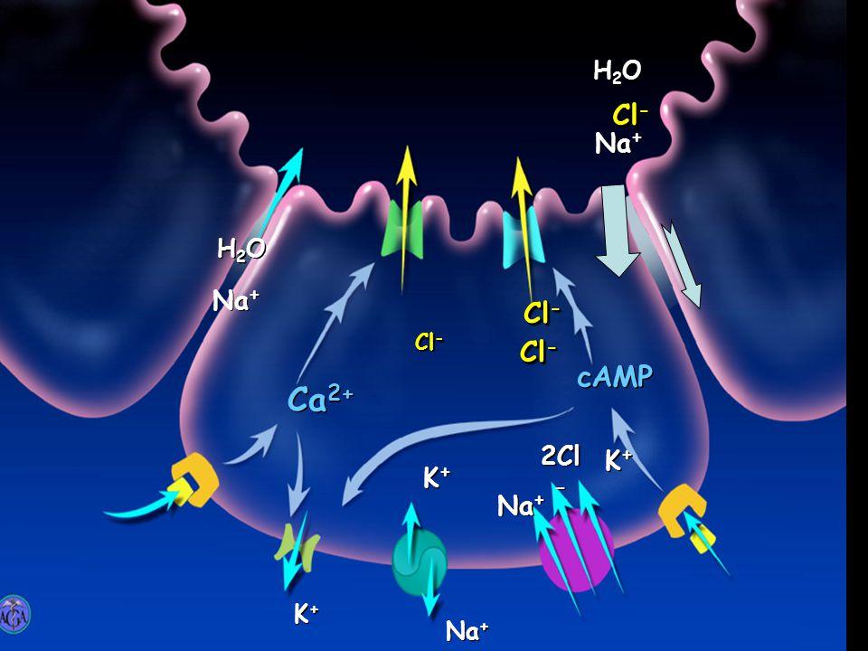 Ca 2+ Cl - cAMP Na + K+K+ K+K+ K+K+ K+K+ K+K+ K+K+ 2Cl - Na + H2OH2O H2OH2O Cl - H2OH2O H2OH2O Na + Cl -