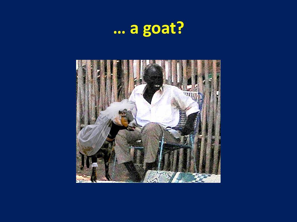 … a goat?