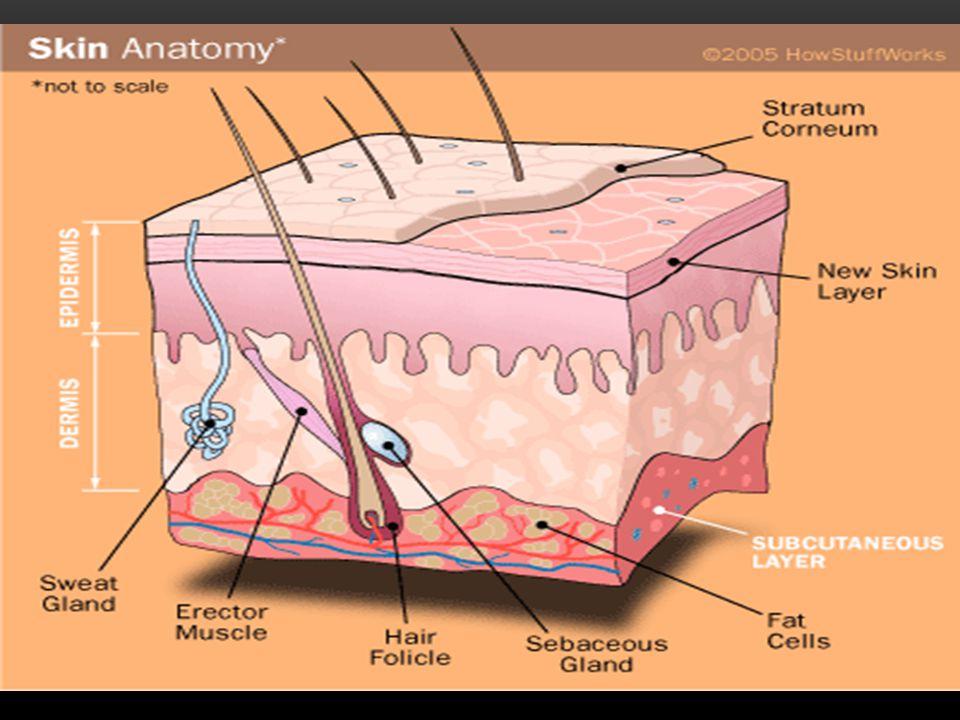 THE INTEGUMENTARY SYSTEM Integument is skin Skin and its appendages make up the integumentary system A fatty layer (hypodermis) lies deep to it Two distinct regions Epidermis Dermis
