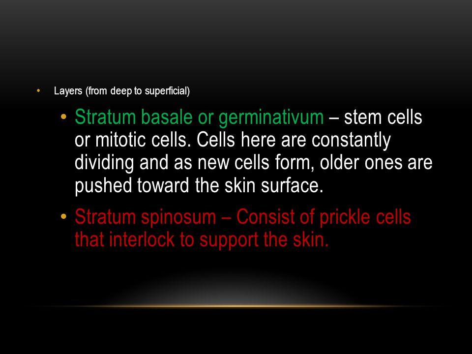 DERMIS The dermis, or corium, consists of dense fibrous connective tissue with numerous collagenous and elastic fibers.