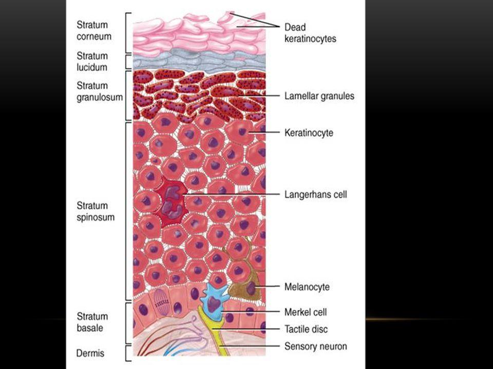 Stratum granulosum - This layer initiates Keratinization.