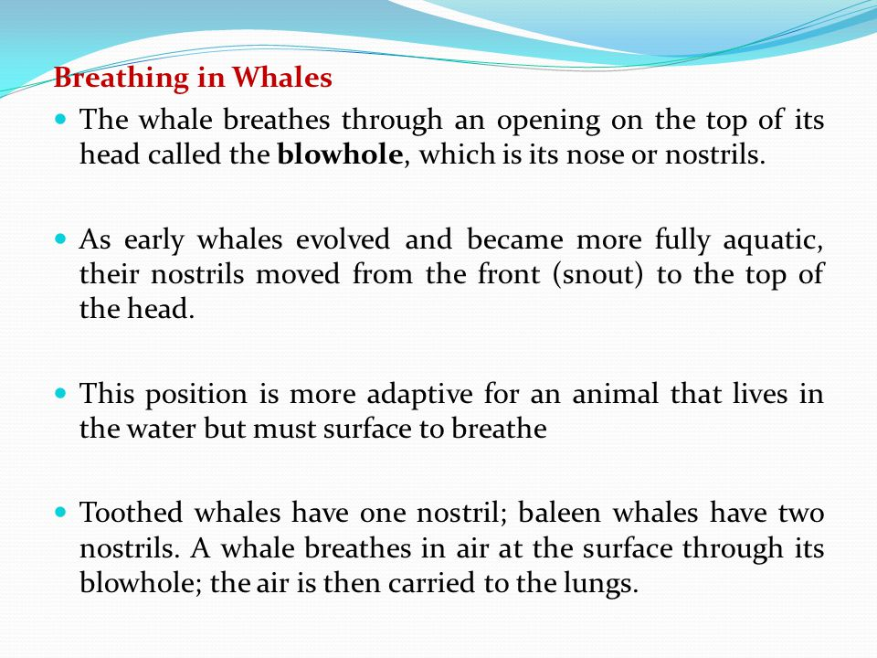 Breathing in Whales The whale breathes through an opening on the top of its head called the blowhole, which is its nose or nostrils.