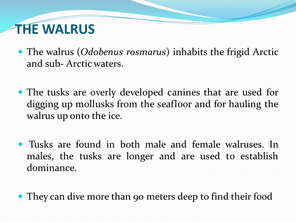 THE WALRUS The walrus (Odobenus rosmarus) inhabits the frigid Arctic and sub- Arctic waters.