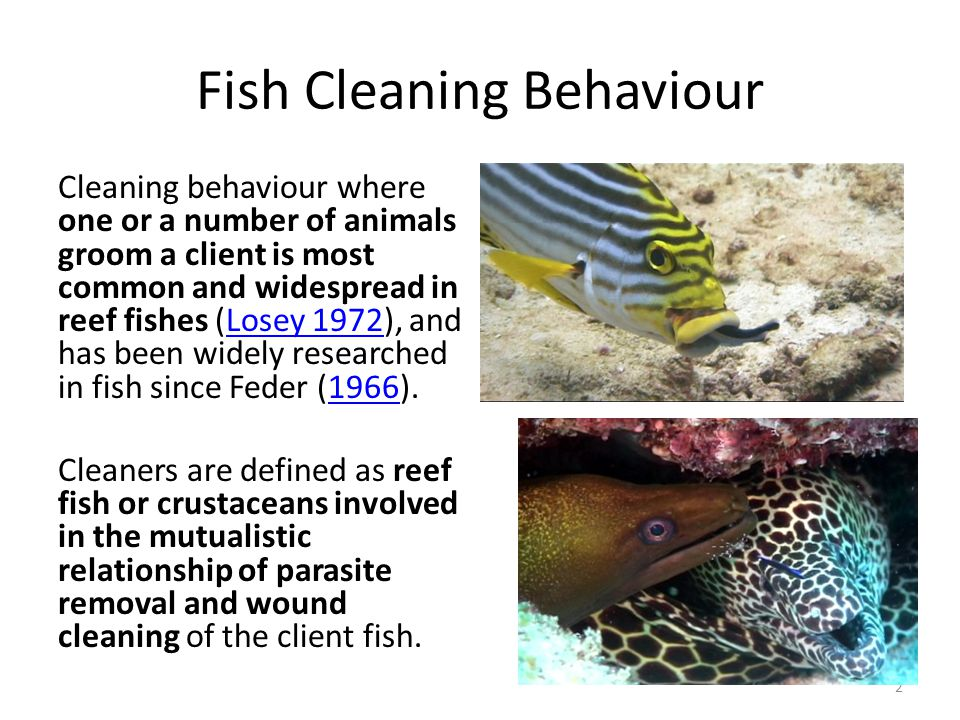 Fish Cleaning Behaviour Cleaning behaviour where one or a number of animals groom a client is most common and widespread in reef fishes (Losey 1972), and has been widely researched in fish since Feder (1966).Losey 19721966 Cleaners are defined as reef fish or crustaceans involved in the mutualistic relationship of parasite removal and wound cleaning of the client fish.