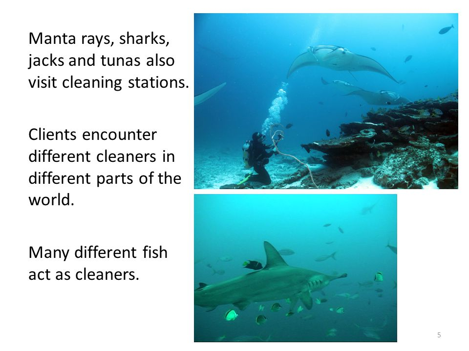 5 Manta rays, sharks, jacks and tunas also visit cleaning stations.