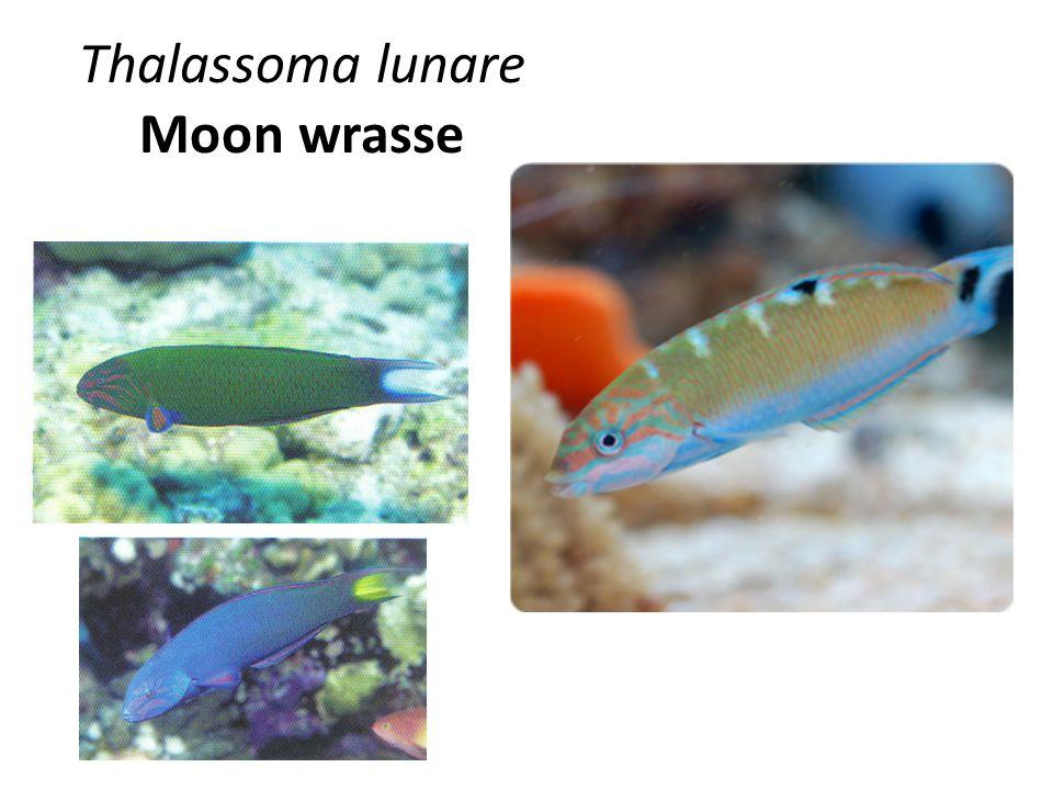 Thalassoma lunare Moon wrasse 9