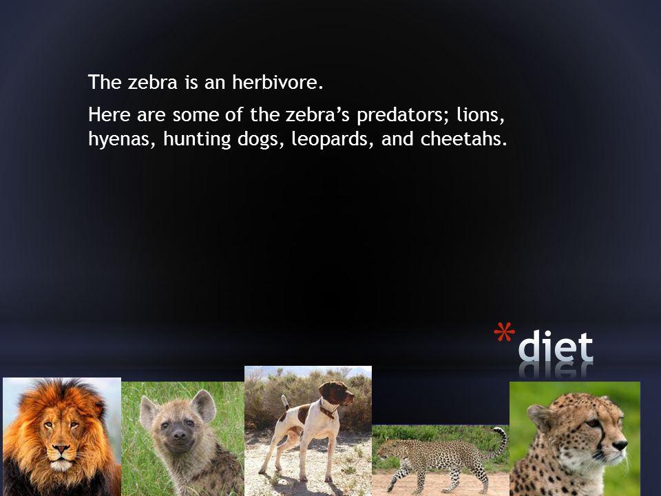 The zebra is an herbivore.