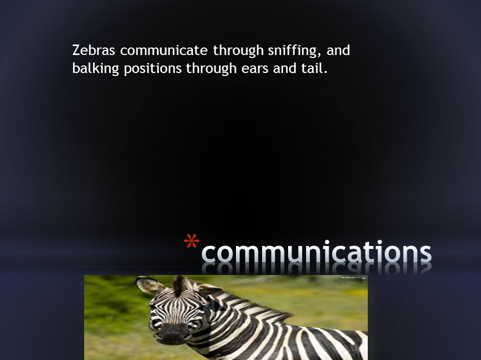 Zebras communicate through sniffing, and balking positions through ears and tail.
