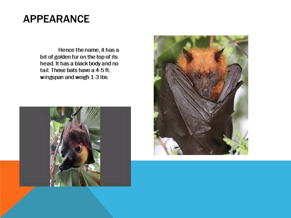 SPECIAL FACTS First, it can fly at 25 MPH.They are the world's largest bats.