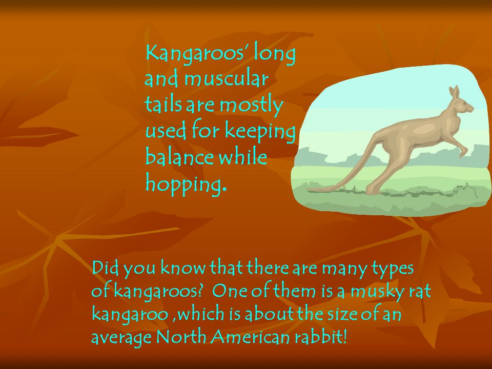 Kangaroos' long and muscular tails are mostly used for keeping balance while hopping.