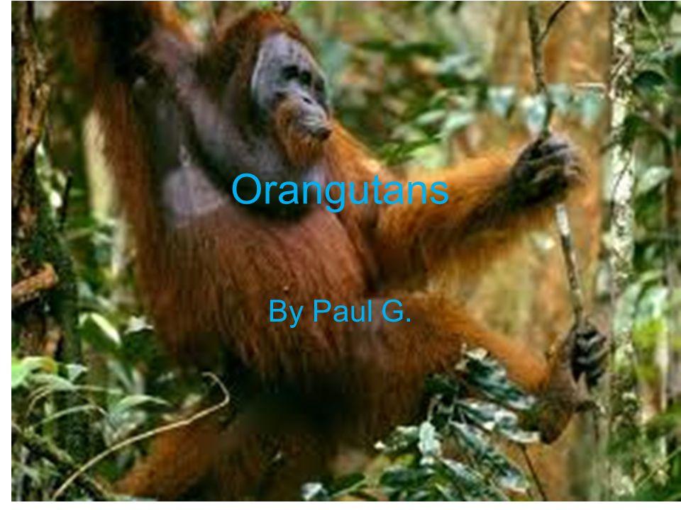 Orangutans By Paul G.