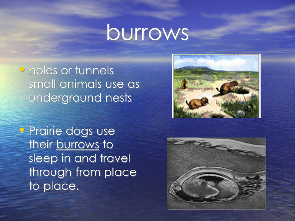 burrows holes or tunnels small animals use as underground nests Prairie dogs use their burrows to sleep in and travel through from place to place.