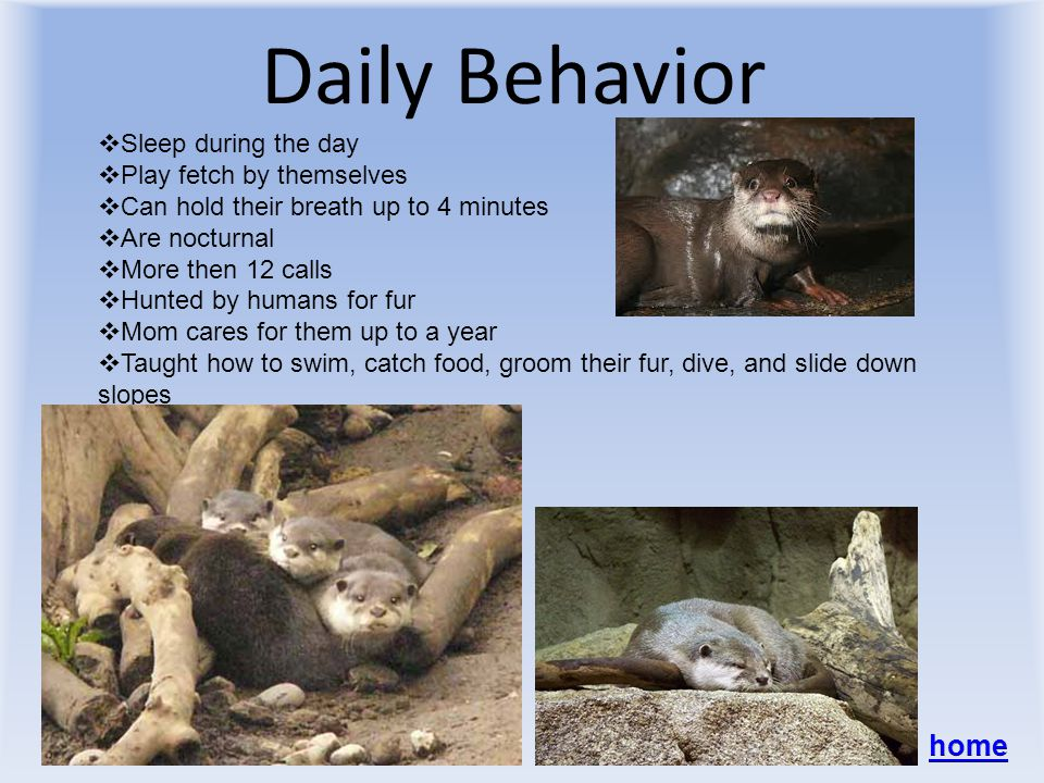 Daily Behavior SSleep during the day PPlay fetch by themselves CCan hold their breath up to 4 minutes AAre nocturnal MMore then 12 calls HHunted by humans for fur MMom cares for them up to a year TTaught how to swim, catch food, groom their fur, dive, and slide down slopes