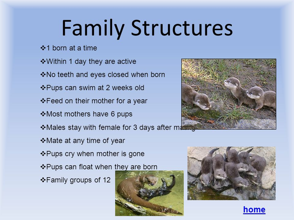 Family Structures  1 born at a time  Within 1 day they are active  No teeth and eyes closed when born  Pups can swim at 2 weeks old  Feed on their mother for a year  Most mothers have 6 pups  Males stay with female for 3 days after mating  Mate at any time of year  Pups cry when mother is gone  Pups can float when they are born  Family groups of 12