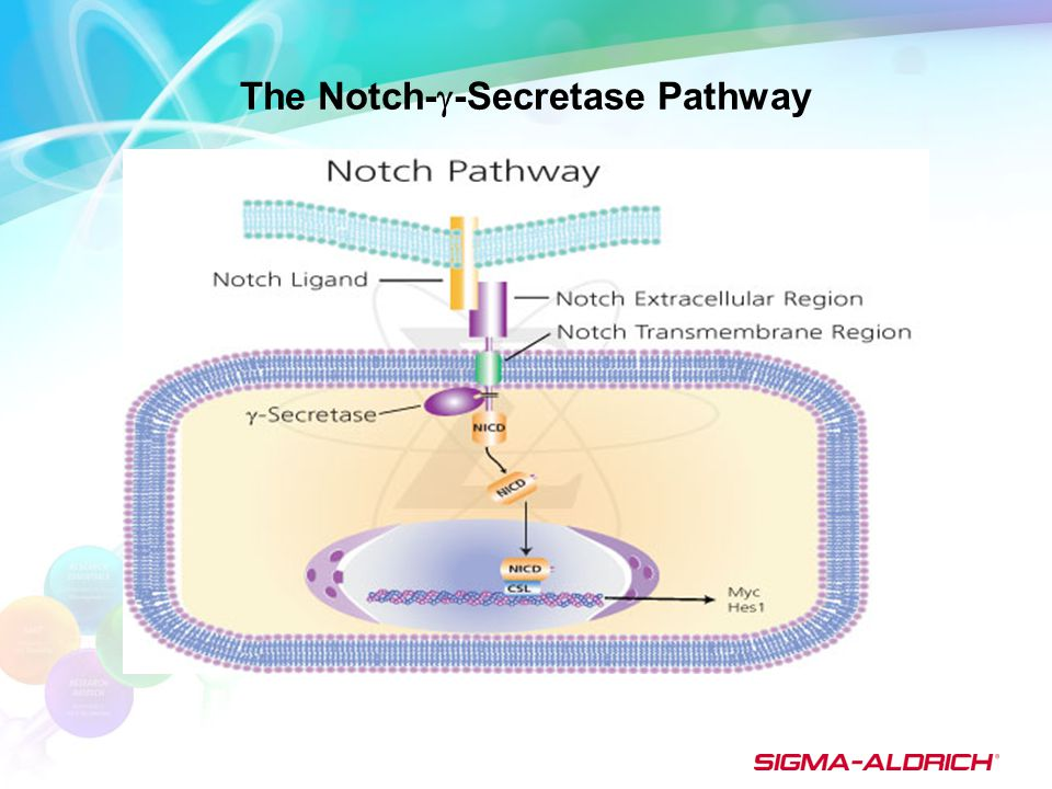 The Notch-  -Secretase Pathway