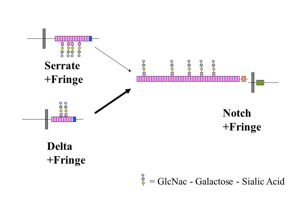 Notch +Fringe Serrate +Fringe Delta +Fringe = GlcNac - Galactose - Sialic Acid