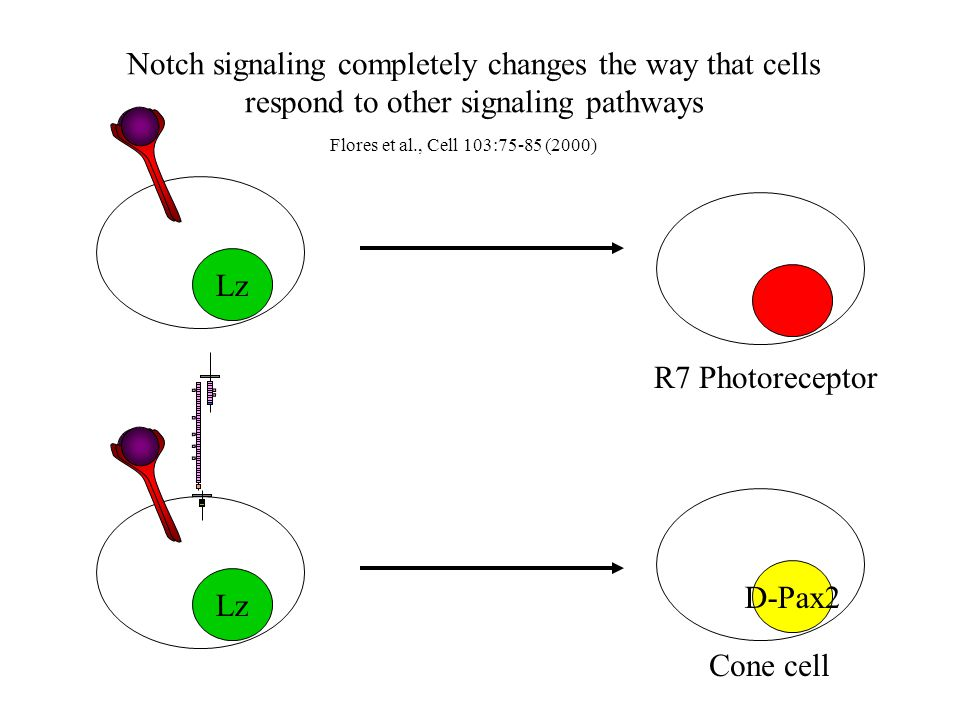 Lz Notch signaling completely changes the way that cells respond to other signaling pathways Flores et al., Cell 103:75-85 (2000) R7 Photoreceptor D-Pax2 Cone cell