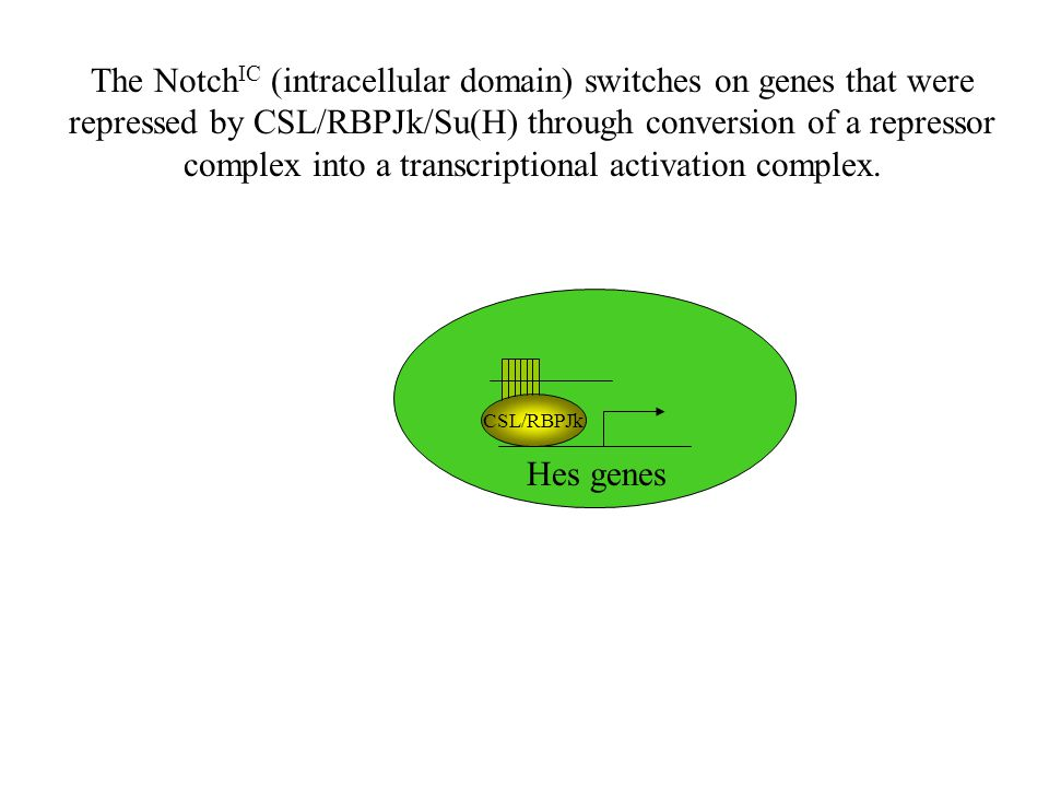 Hes genes CSL/RBPJk The Notch IC (intracellular domain) switches on genes that were repressed by CSL/RBPJk/Su(H) through conversion of a repressor complex into a transcriptional activation complex.