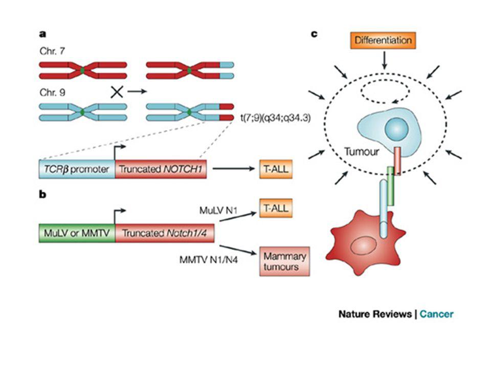 Notch Serrate Delta Notch 1,2,3,4 Jagged 1,2 Dll 1, 4 Dll3, Dlk/Pref1 antagonists Fringe Lunatic Fringe Manic Fringe Radical Fringe The mammalian Notch receptors, ligands, and Fringes